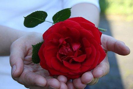 vrtna ruža